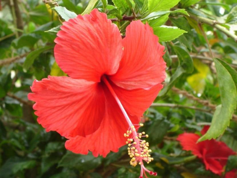 Hibiscus rosa sinensis de flor roja