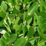 Hojas de laurel, un repelente anti moscas