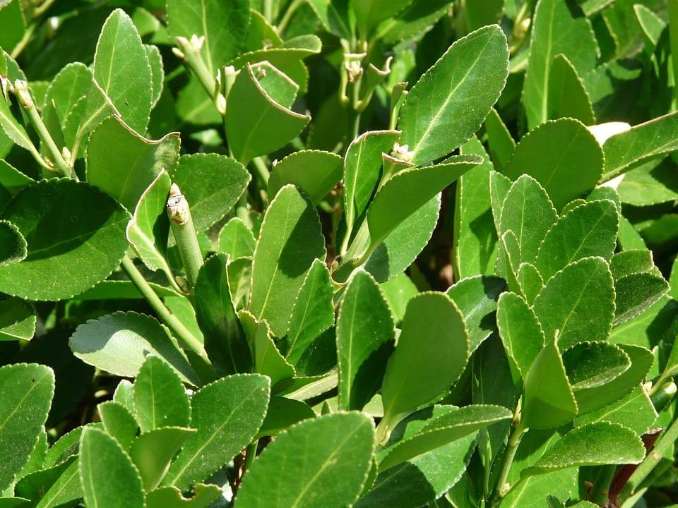 Seleccion De Plantas Para Cercos - Arbustos-para-vallas