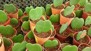 La Hoya kerri crece lentamente