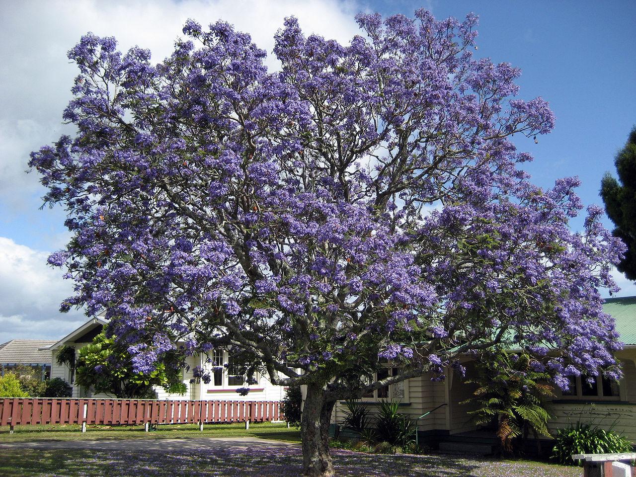 El jacarandá es un árbol ornamental