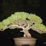 Juniperus macrocarpa