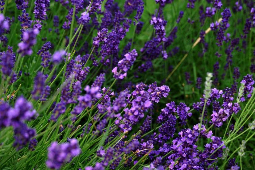 Lavandula en flor
