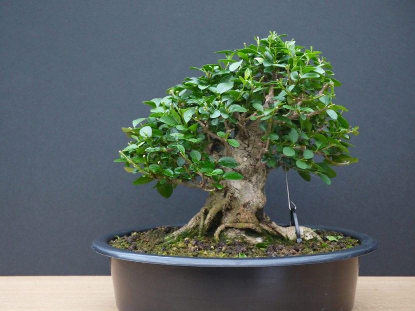 Bonsái de Ligustrum, una planta ideal para principiantes