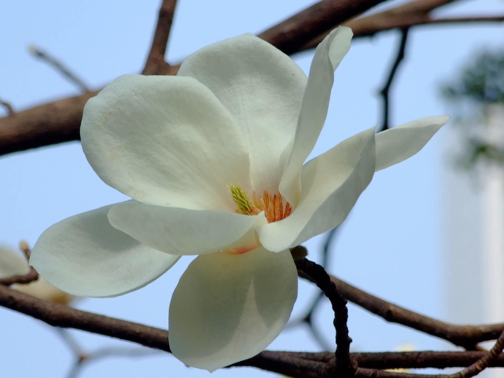 La Magnolia denudata es un árbol caducifolio