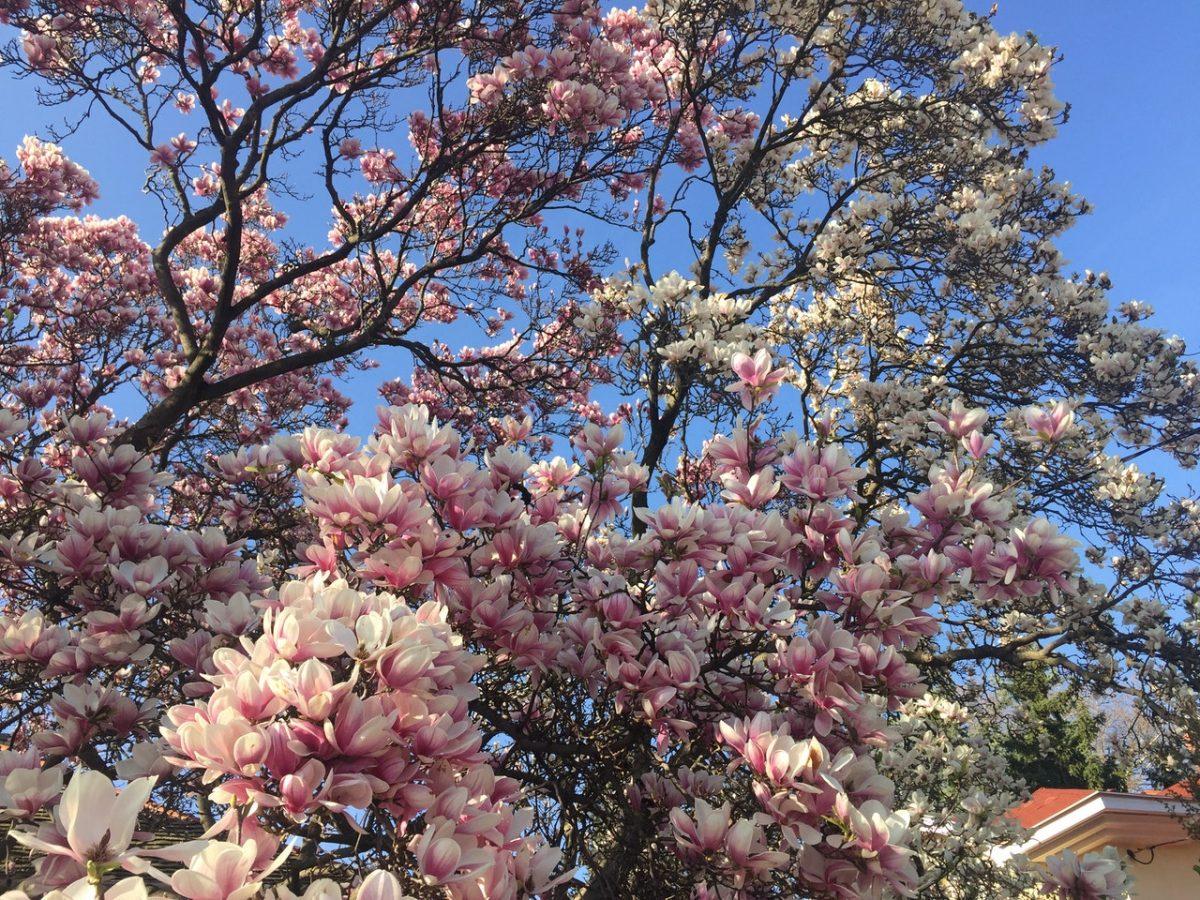 La magnolia es un árbol de crecimiento lento