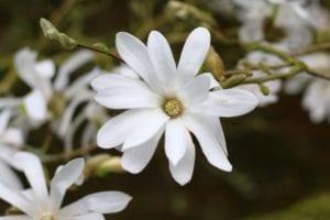 Magnolia stellata en flor