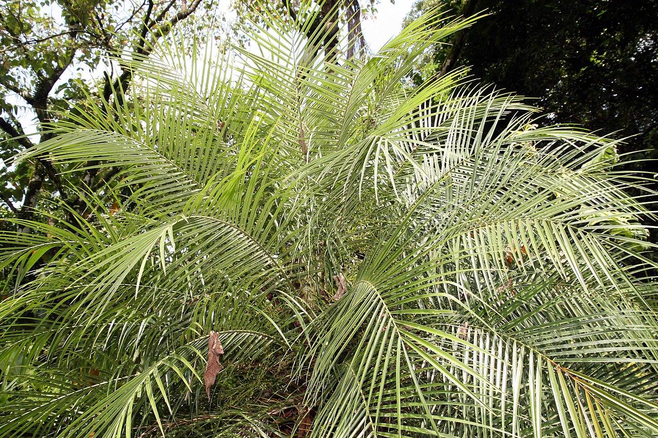 La Phoenix roebellinii es una palmera pequeña