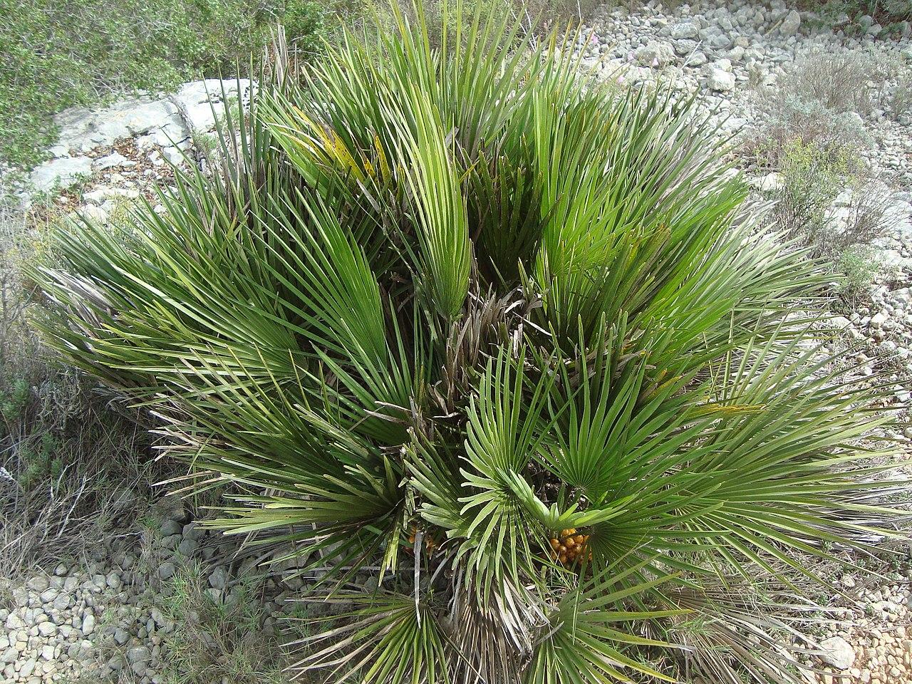 El palmito es una palmera pequeña