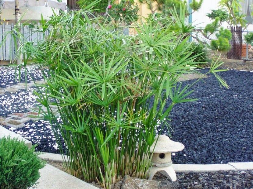 Papiro de Egipto, planta ornamental