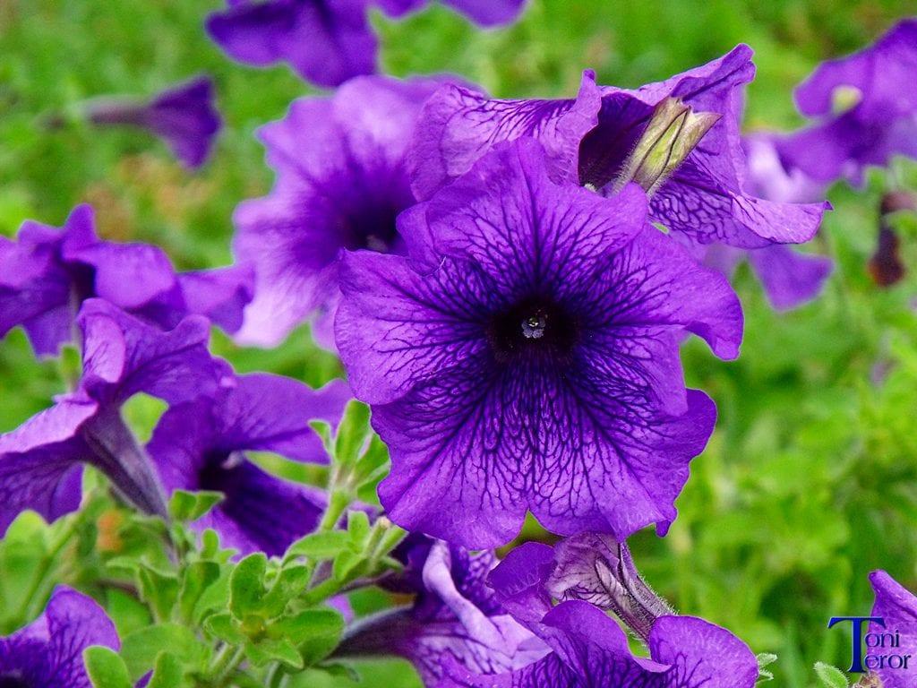Petunia con flores violetas