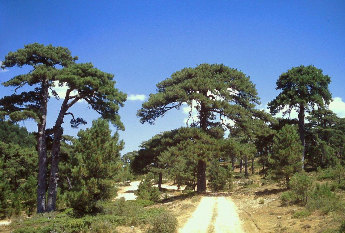 El Pinus nigra es una conífera de rápido crecimiento