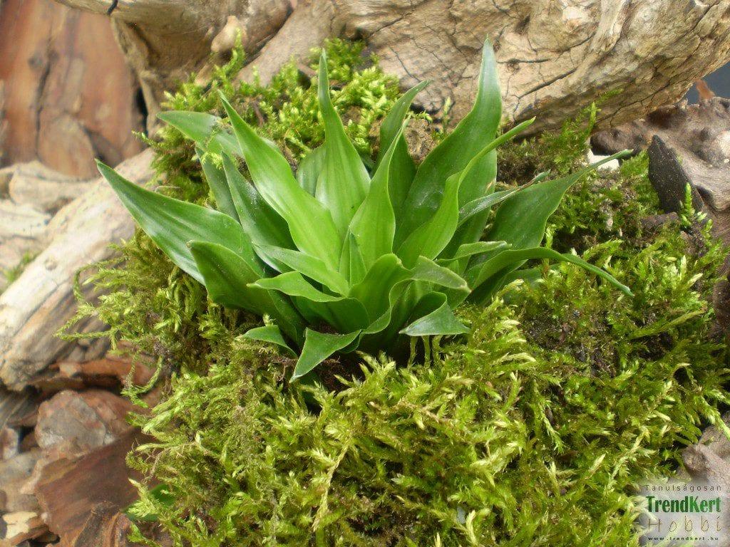 Planta Dracaena compacta
