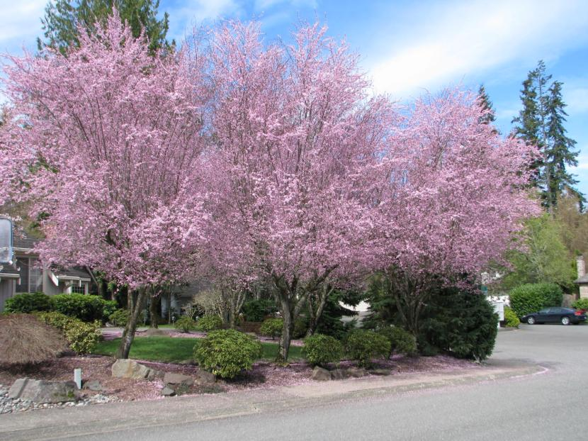 Prunus cerasifera en flor