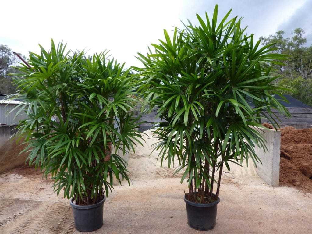 4 tipos de palmeras para tener en maceta - Plantas de jardin exterior ...