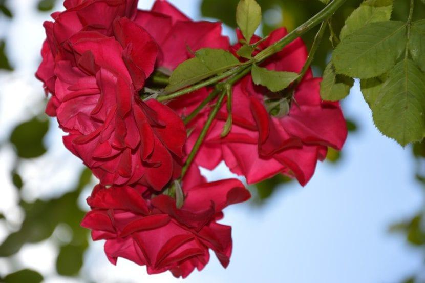 Flores del rosal trepador