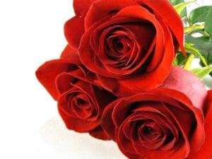 Rosas freedom