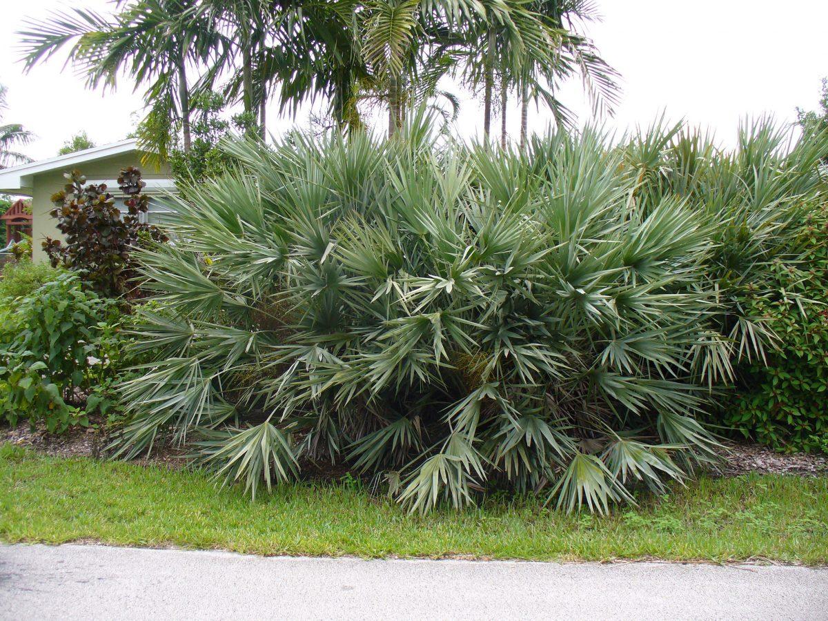 La Serenoa repens es una palmera pequeña y multicaule