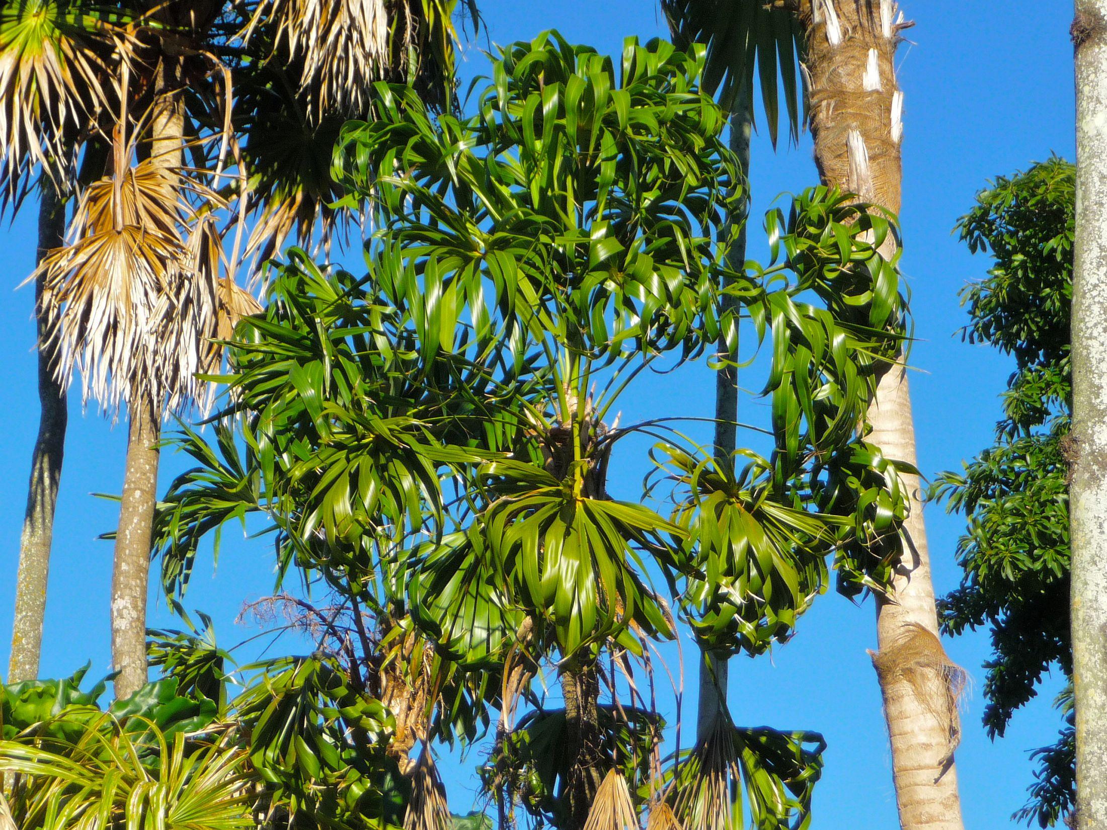 Vista de la Thrinax parviflora, una palmera que puedes tener en maceta