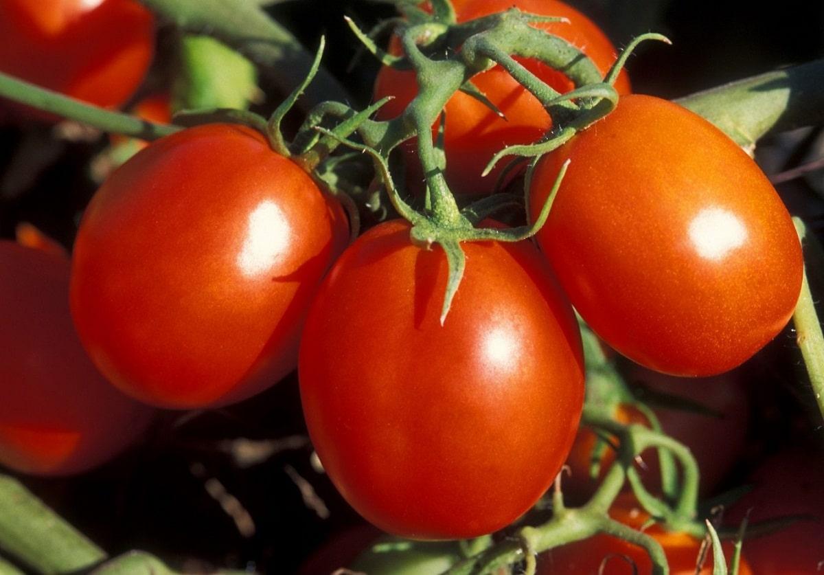 El tomate romano es rojo