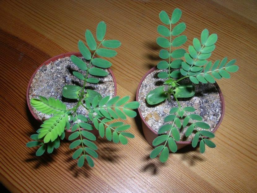 Plántulas de Acacia karroo