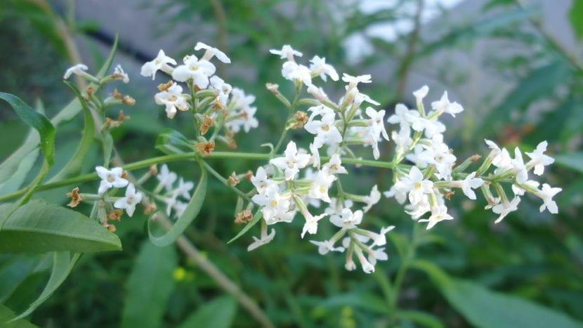 Flores de Aloysia citrodora
