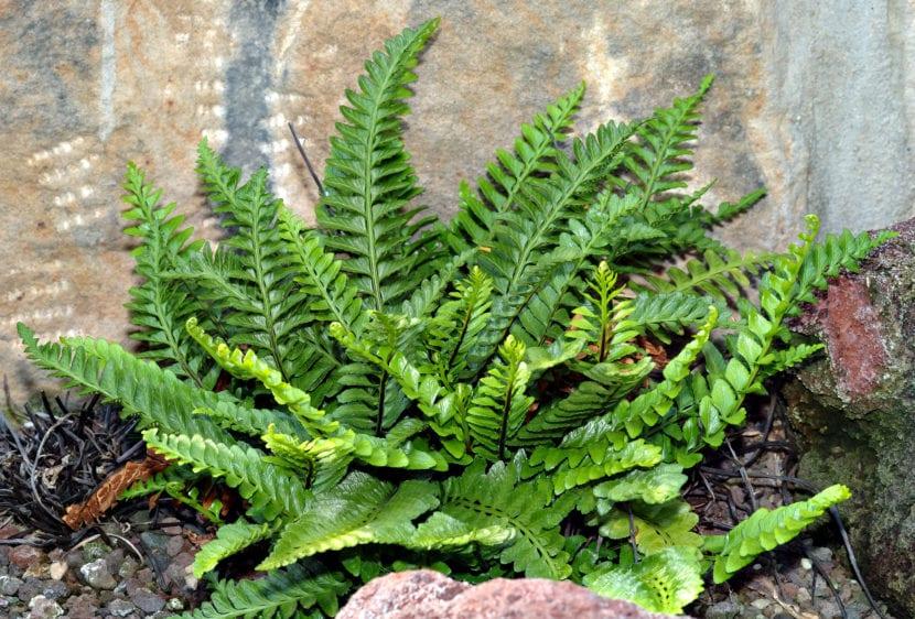 Asplenium marinum