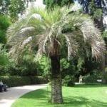 Palmera Butia capitata, una preciosa planta que tiene hojas pinnadas