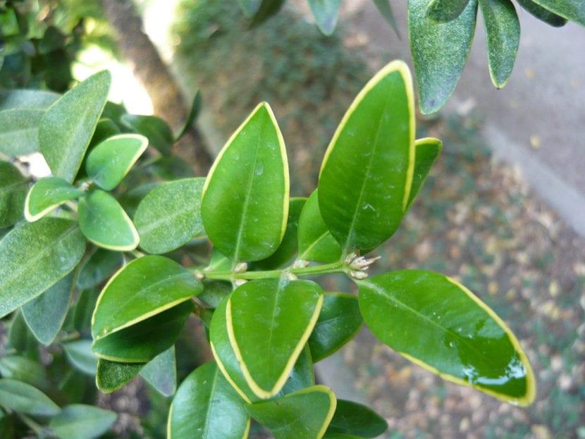 Buxus sempervirens 'Marginata'