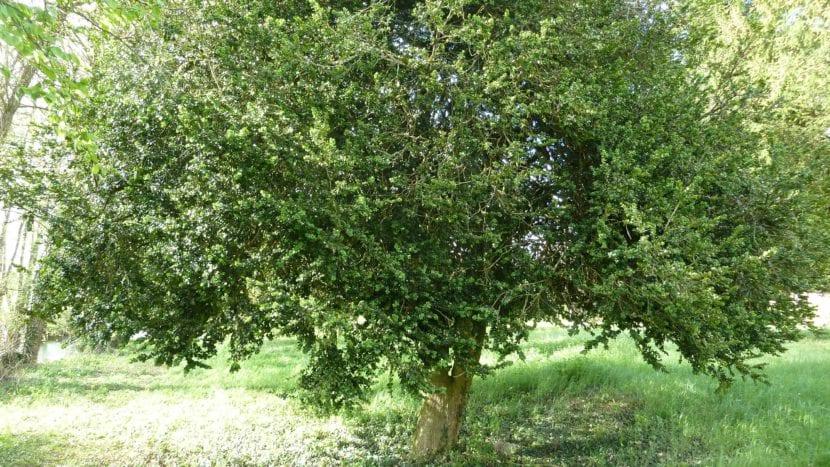 Árbol de Buxus sempervirens