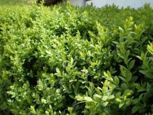 Buxus sempervirens con muchas hojas nuevas