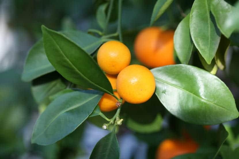 Frutos del calamondín