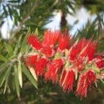 Callistemon viminalis en flor