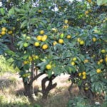 Árbol de Citrus reticulata o mandarino en un jardín