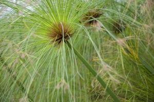 Cyperus papyrus, el nombre científico del papiro