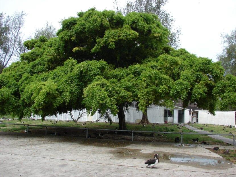 Árbol de Ficus benjamina