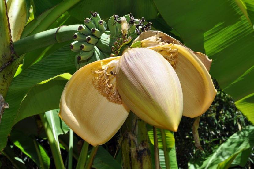Flores banana