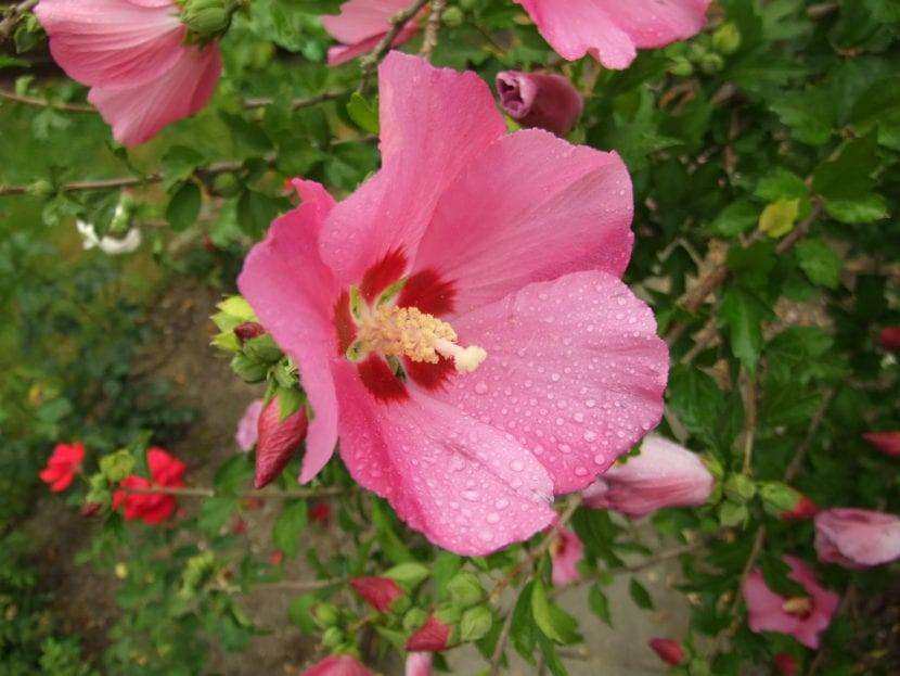 Hibiscus syriacus de flor roja