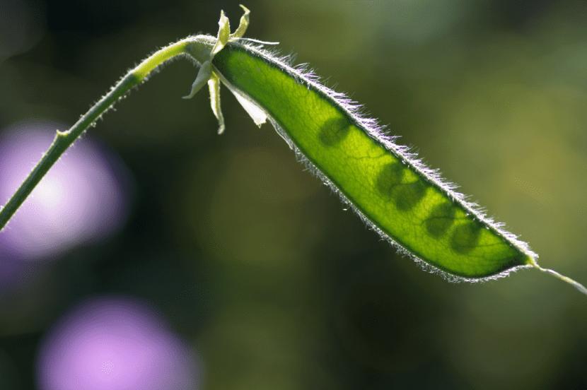 Frutos del Lathyrus odoratus