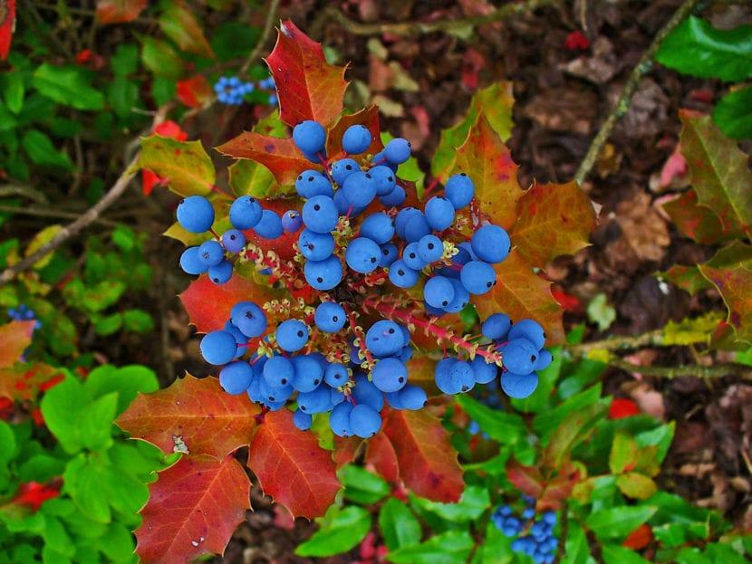 Frutos de la Mahonia aquifolium