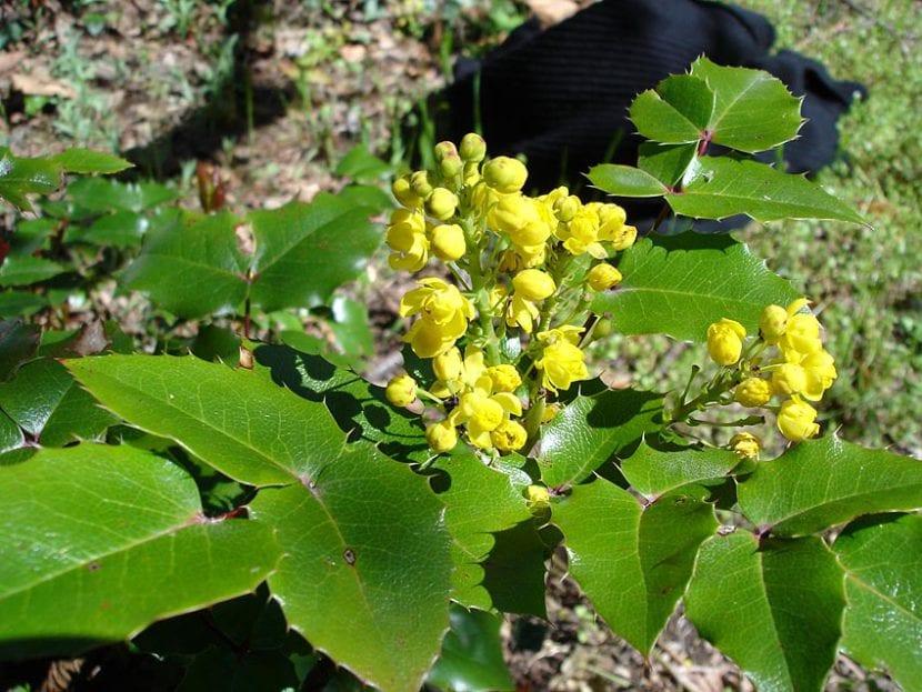 Joven Mahonia aquifolium