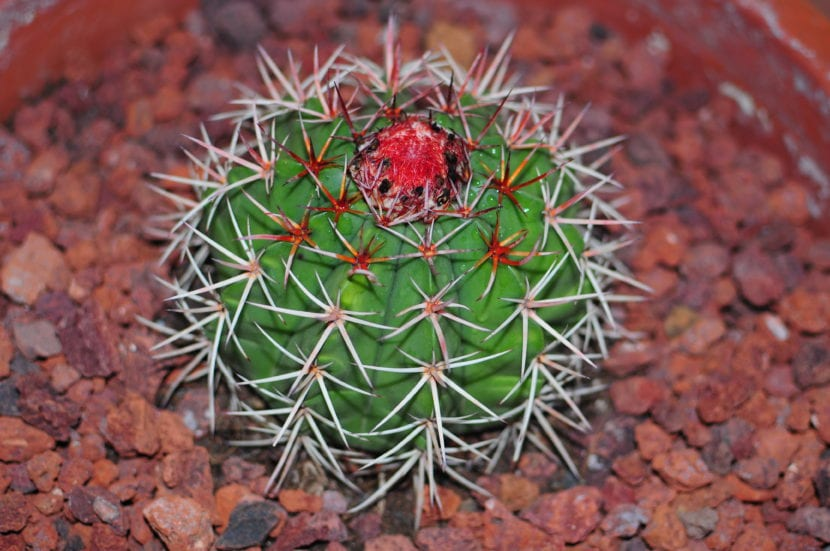 Melocactus pachyacanthus