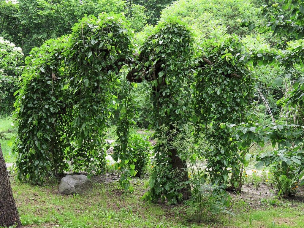 Morus alba 'Pendula', es una variedad muy decorativa