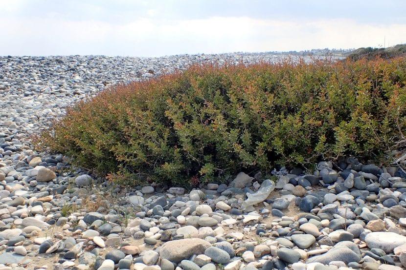 Pistacia lentiscus, o lentisco, creciendo en su hábitat natural