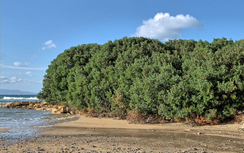 Pistacia lentiscus en la playa