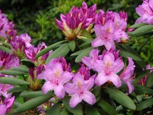 El Rhododendron catawbiense es un arbusto de flores rosas