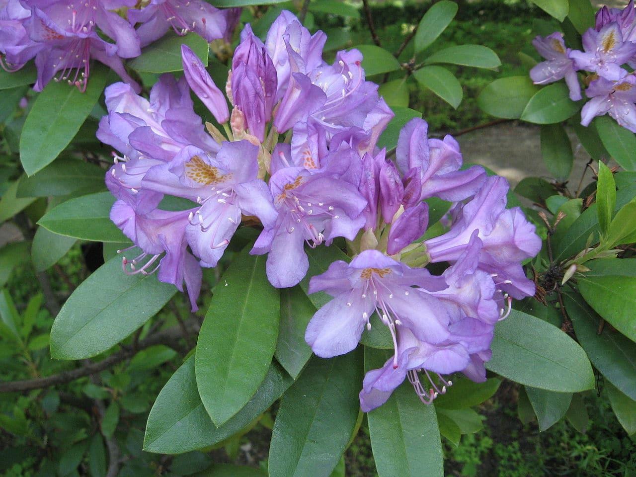 El Rhododendron ponticum tiene flores lilas