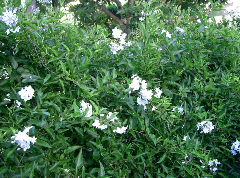 Solanum jasminoides en jardín
