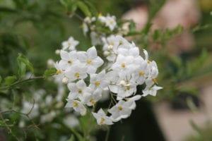 Solanum jasminoides en flor