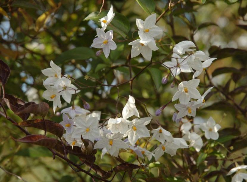 Flores blancas de Solanum jasminoides